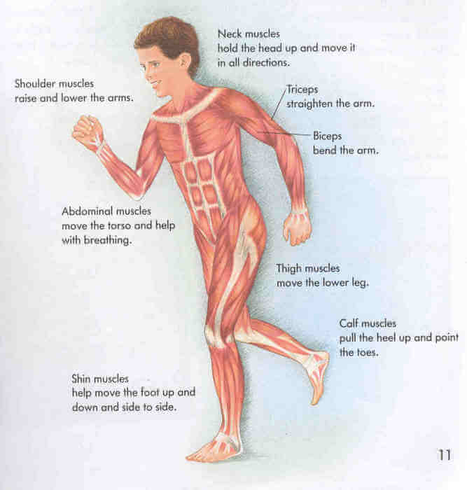 Voluntary Muscles Image - Science for Kids All About Human Body Muscles