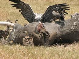 Vultures Eating Dead Animals Image