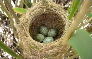 Warbler Eggs in a Nest Image