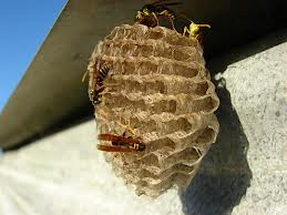 Wasp Paper Nest Image