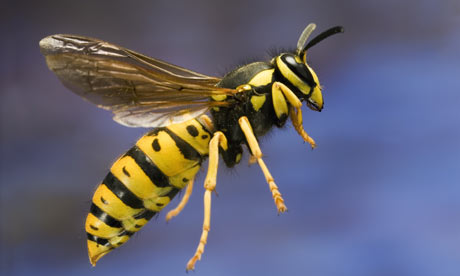 Wasps – The Noisy, Aggressive But Useful Insects