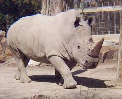 Rhinos – What Are The Five Types Of Rhinos?
