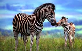 Mother Zebra with Her Baby Image