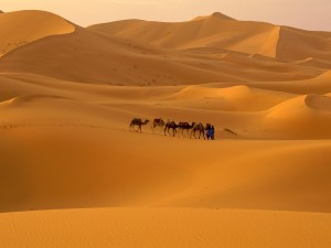 Camels Walking in the Sahara Desert Image - Science for Kids All About Deserts