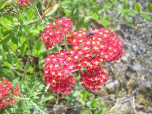 Yarrow Plant for Healing Wounds Image - Science for Kids the Power of Plants