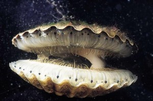 Open-mouthed Bivalvia Image