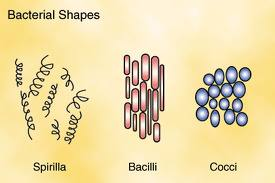 Bacteria Types and Shapes Image