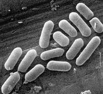 Bacteria Under a Microscope Image - Science for Kids Bacteria: Good Guy or Bad Guy?