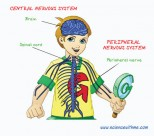 Nerves and the Nervous System – The Operating System of Human Beings