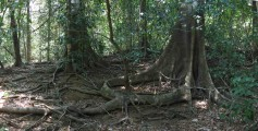 Easy Geography for Kids on Costa Rica - image of Jungle Roots in Costa Rica