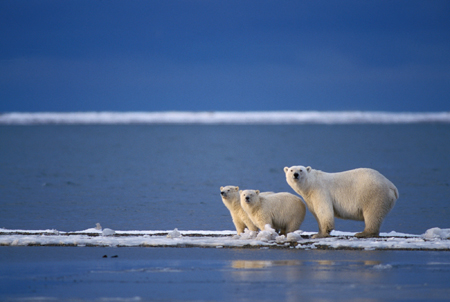 Image of Polar Bears on a Pack of Ice in the Arctic Ocean - All About the Oceans of the World for Kids