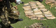 Easy Science for Kids All About Conservation - image of Ivory Collected from Illegal Poaching