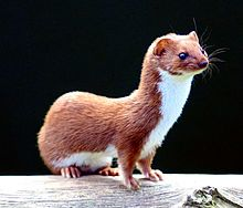 Fun Weasels Quiz – FREE Interactive Kids Science Quizzes