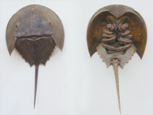 Easy Science for Kids fun facts on Xiphosura - Front and back Fossil Image of the Horseshoe Crabs, the Sea Arachnids