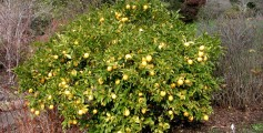Image of a Typical Australian Lemon Bush Tree with Lemons