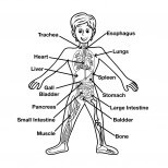 Human Body – Its Function and System
