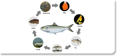 Lifecycle of a fish