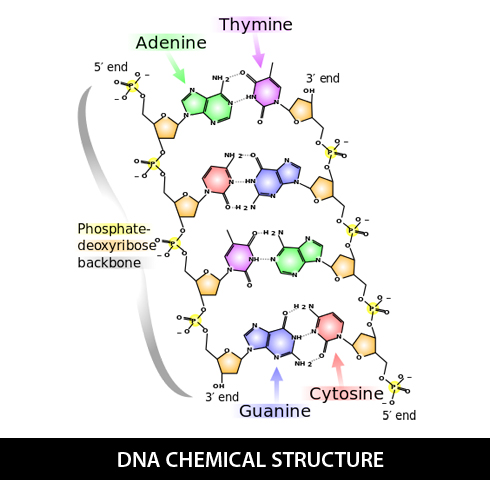 DNA-chemical-structure