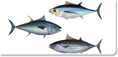 Tuna Fish Facts